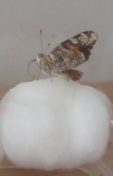 feeding a butterfly on a cottonball