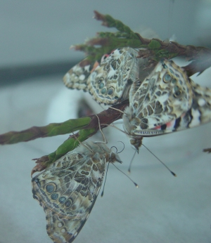 mating behavior of Painted Lady Butterflies