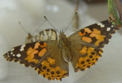 Female painted lady butterfly