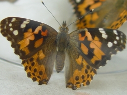 male painted lady butterfly